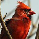 Windblown Northern Cardinal by Debbie Oppermann