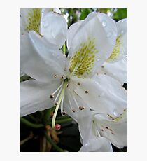 (2) Lillies White, Raindrop Wet  Photographic Print