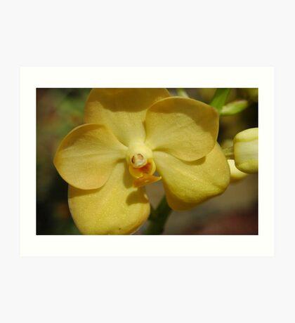 Vanda Orchid - Fuchs Gold Art Print