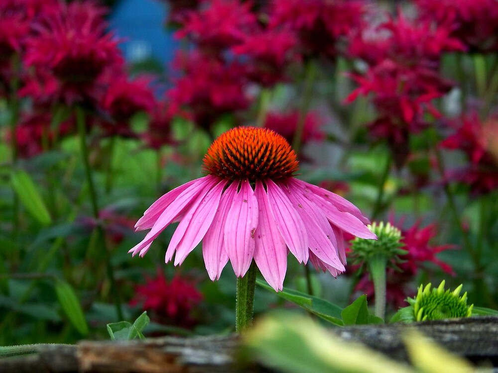Coneflower by Jean Snide