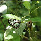 glasswing butterfly by dare2go