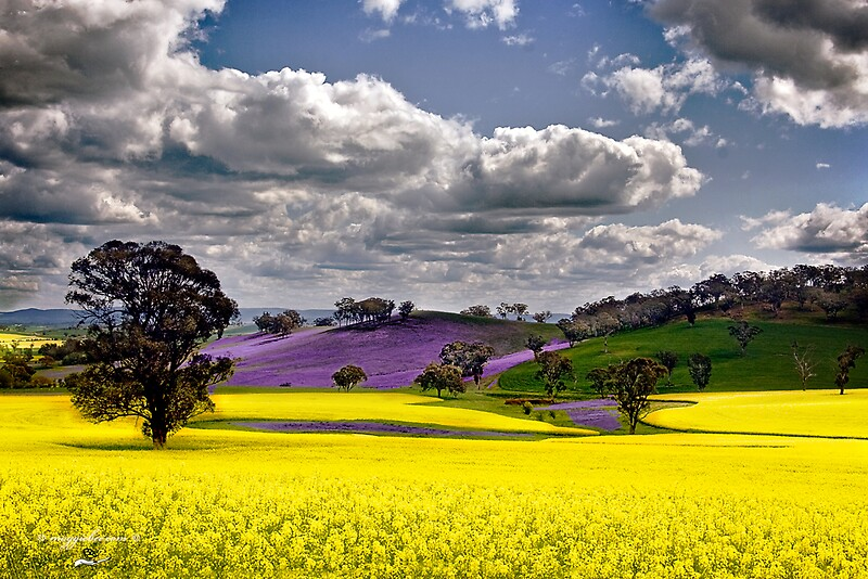 Quot Canola Fields Quot By Maggiebee Redbubble