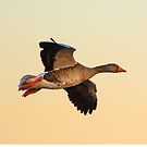 Greylag goose by Dave  Knowles