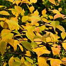 Autumn gold by mausue