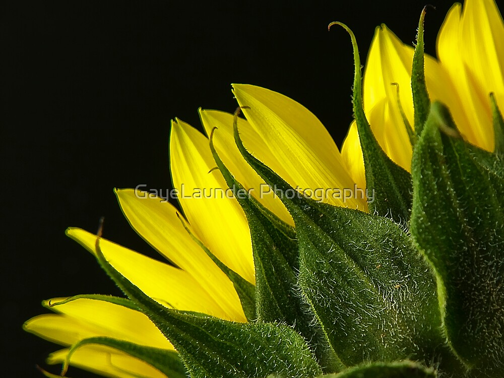 Sunflower by GayeLaunder Photography