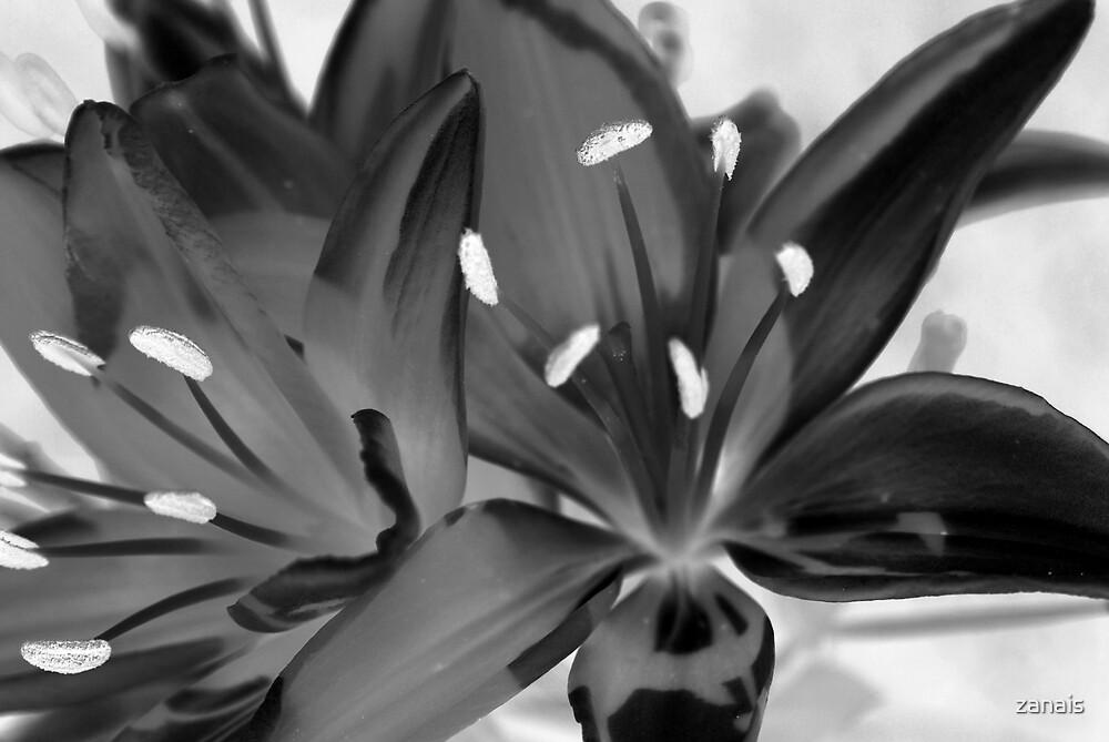 black flower by zanais