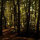 Sunlight through the Trees, Friday Woods by newbeltane