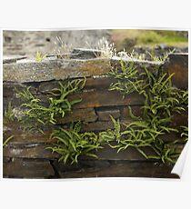 Spleenwort Maidenhair fern on wall at Cashelnagor Poster
