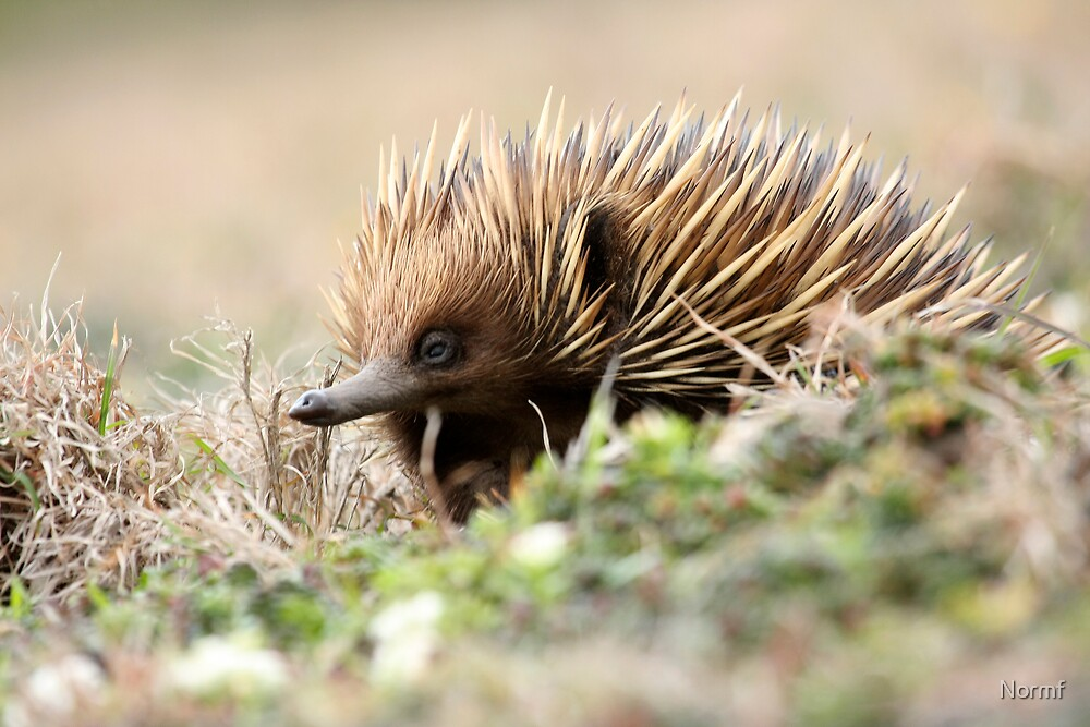 Echidna 3 (The Short-beaked Echidna (Tachyglossus aculeatus) by Normf