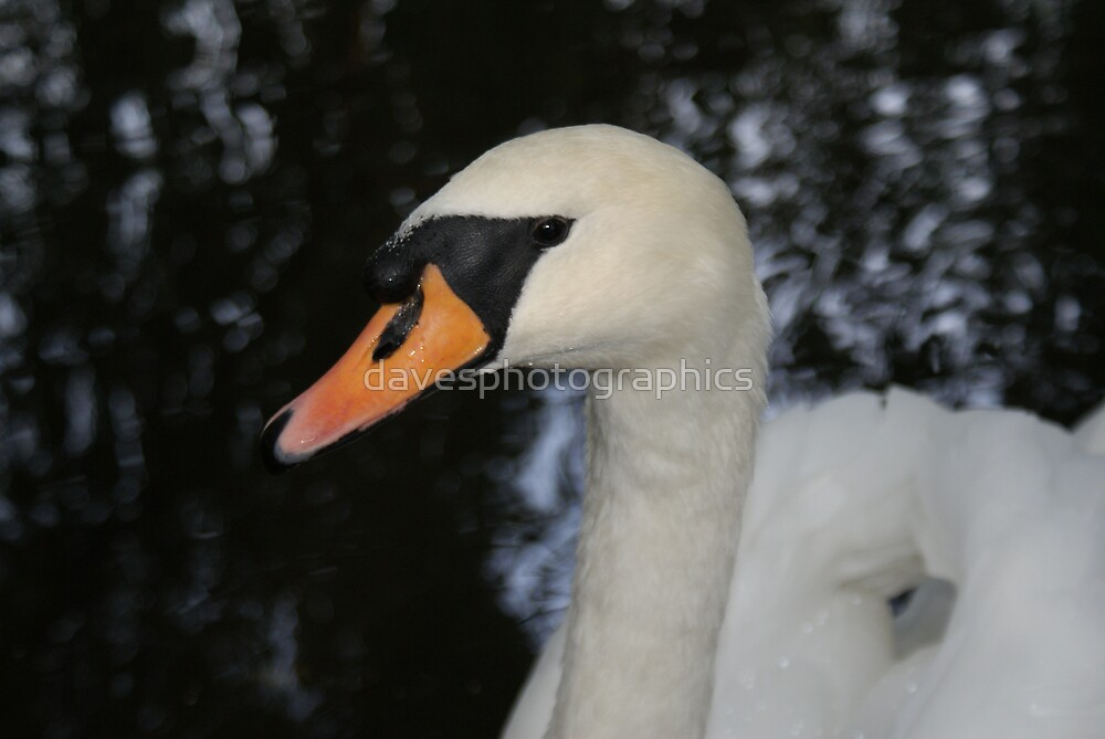 Swan Close Up by davesphotographics