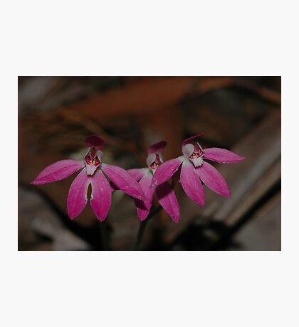 Caladenia carnea Photographic Print