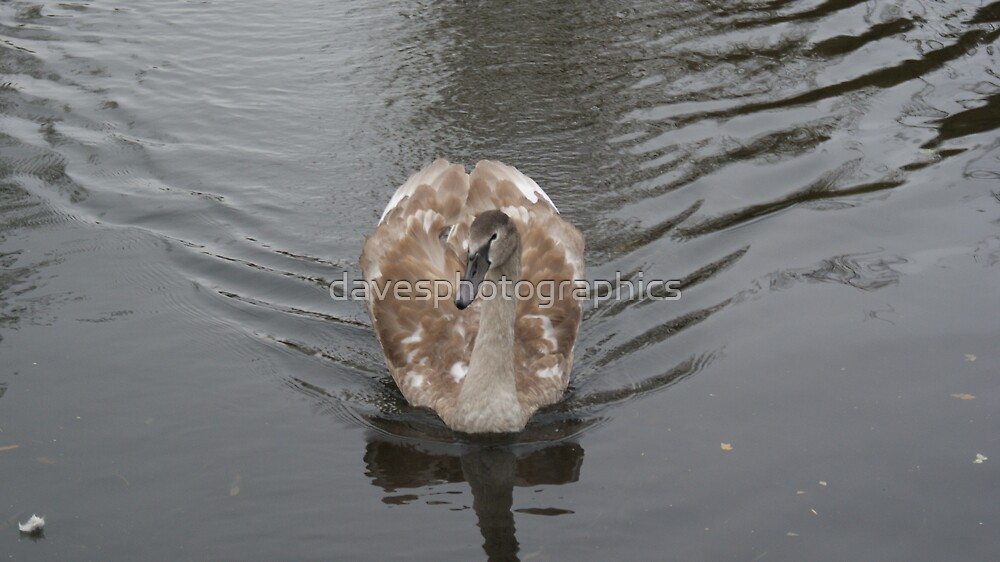 Young Swan by davesphotographics