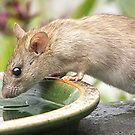 Ratty......the freeloading neighbour......!!! by Roy  Massicks