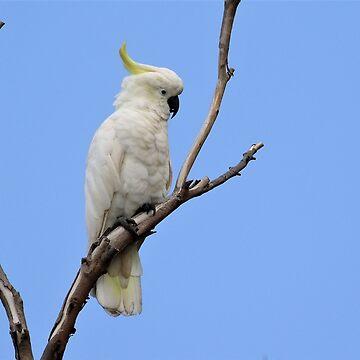 Sulphur-crested Cockatoo by AaronKinzer