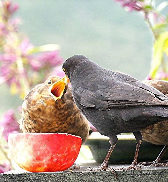 Blackbirds........more please.......!!! by Roy  Massicks