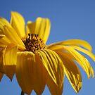 Yellow Daisy Flower by Pamela Jayne Smith