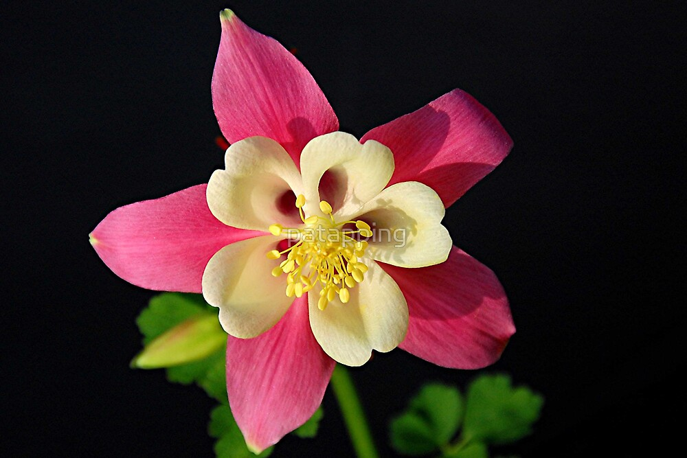 Aquilegia by patapping