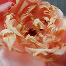 Fading Peach Rose by Heather Crough