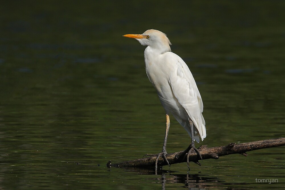Cattle Egret by tomryan