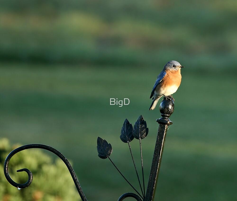Eastern BlueBird by BigD