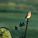 Eastern BlueBird by BigD
