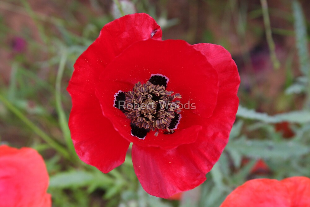 Red Poppies by Robert Woods