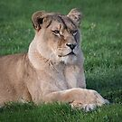 portrait of a lioness by alan tunnicliffe
