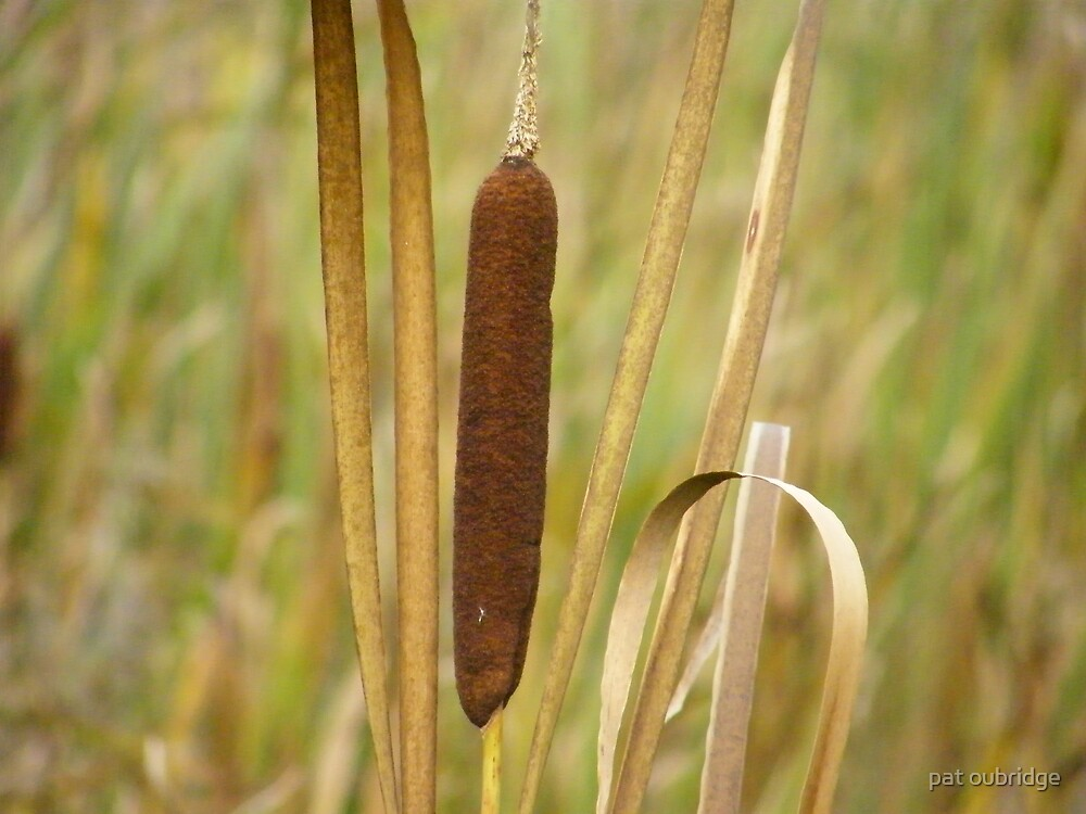 Bullrush by pat oubridge