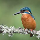 Kingfisher perched on branch by alan tunnicliffe