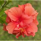 Double Hibiscus by Virginia N. Fred