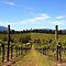 Vanishing Points in the Vineyard