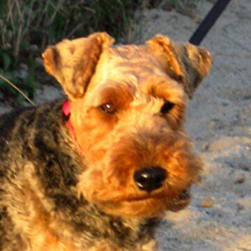 welsh terrier by marasdaughter