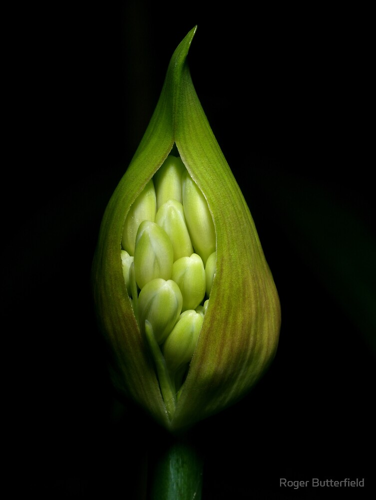Agapanthus Bud by Roger Butterfield