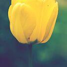 Yellow tulip by Dominika Aniola