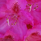 Rododendron Intensity by Catherine Davis