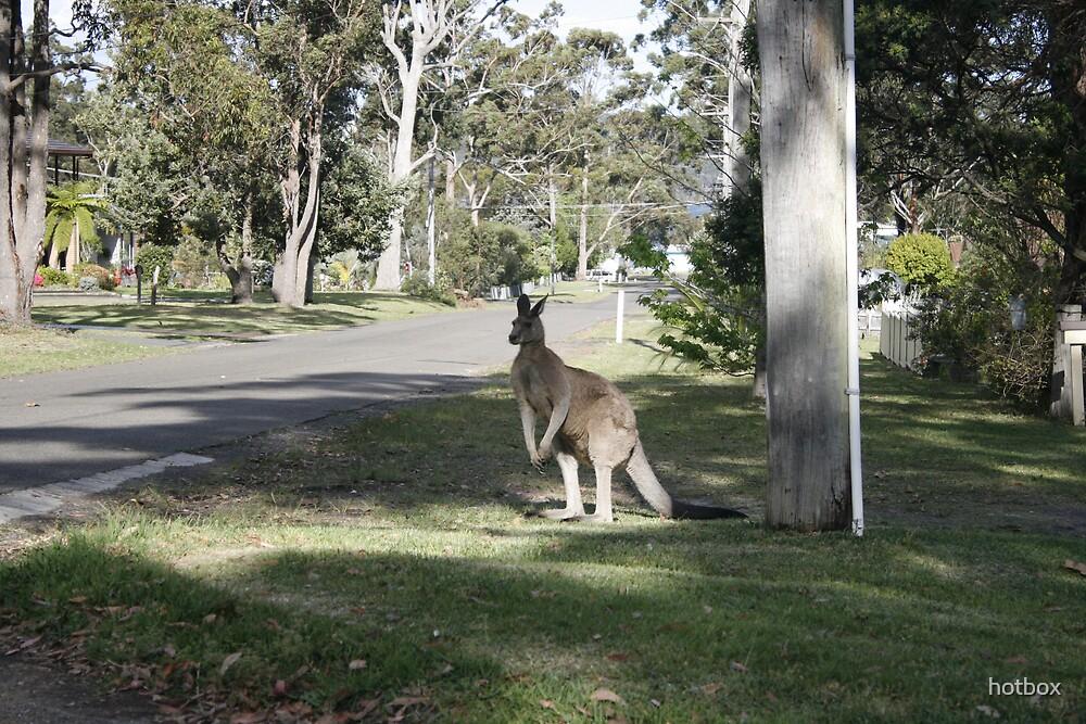 kangaroo by hotbox