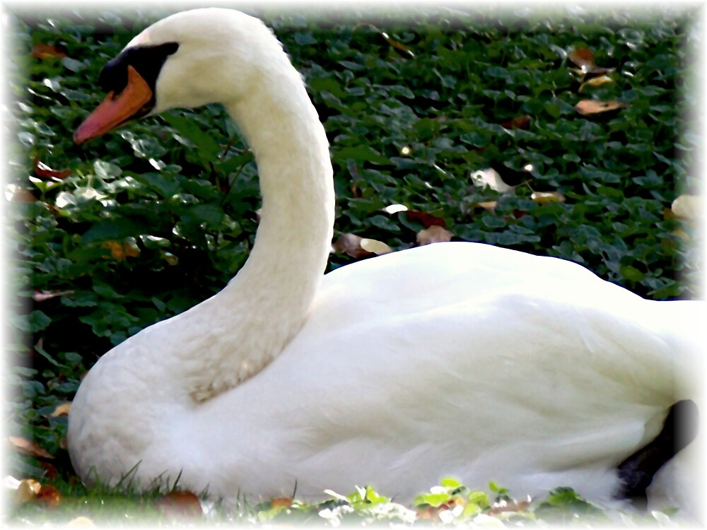 Yes, Zoe ... It's a Swan!! by Judi Taylor