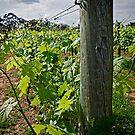Patrick Plains - Hunter Valley by Dave Reid