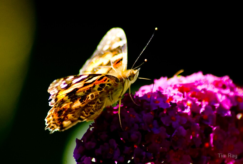 Painted Lady 4 by Tim Ray