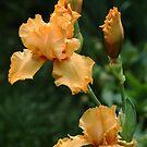 Pure Orange Iris by Debbie Oppermann