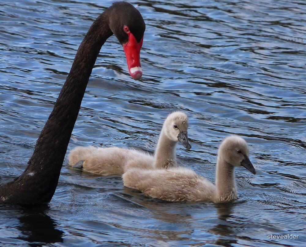 Swans by stevealder