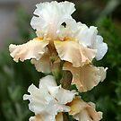 Cream And Tan Iris by Debbie Oppermann