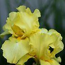 Vibrant Yellow Iris by Debbie Oppermann