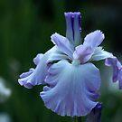 The Showy Mary Frances Iris by Debbie Oppermann