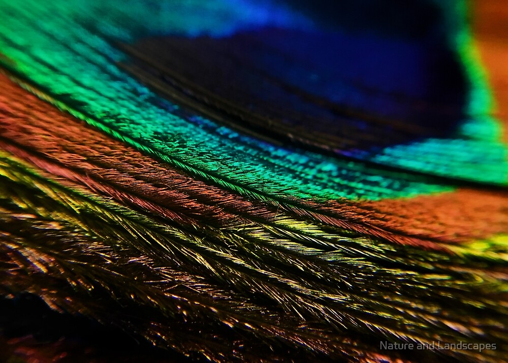 Peacock Feather by Nathan Little