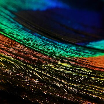 Peacock Feather by nlittle