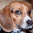 Portrait of a Beagle Named Kaylee by Sherry Hallemeier