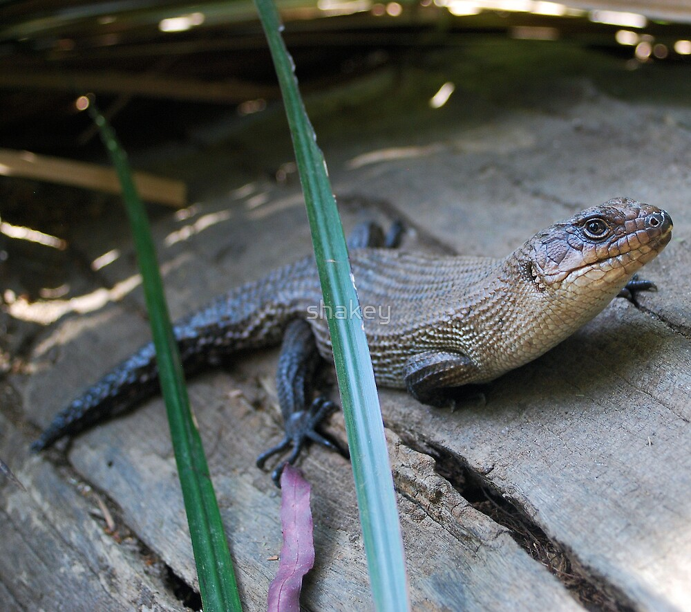 Lizard by shakey