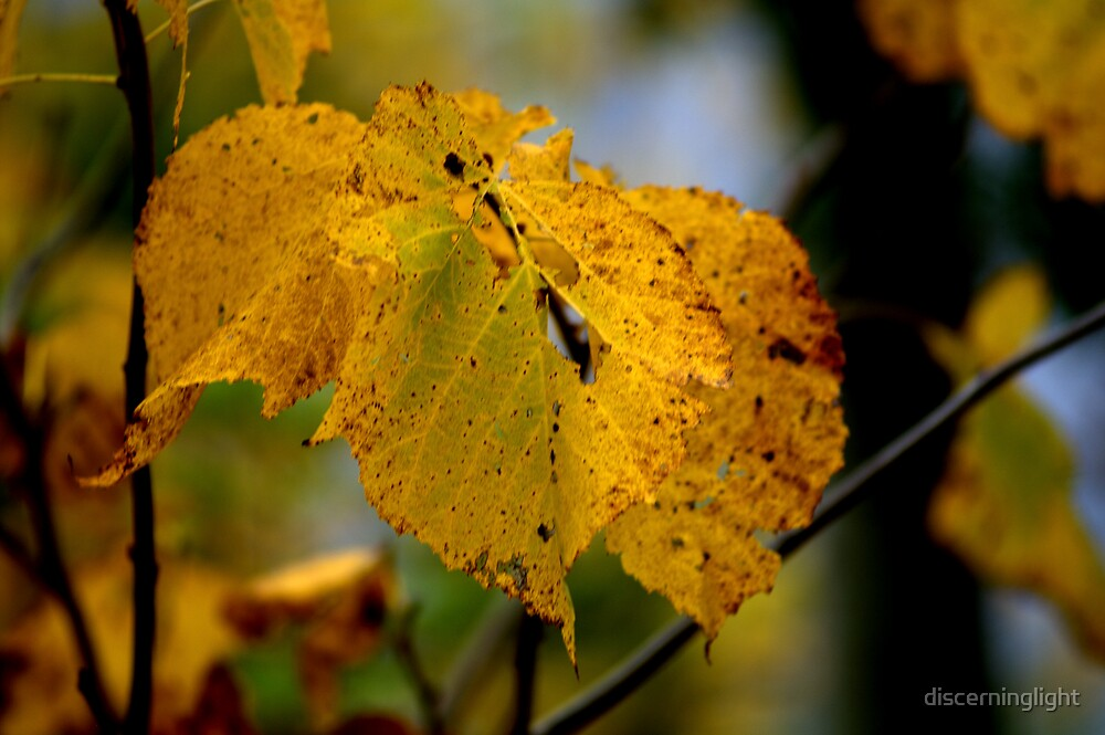 Fall Leaves by discerninglight