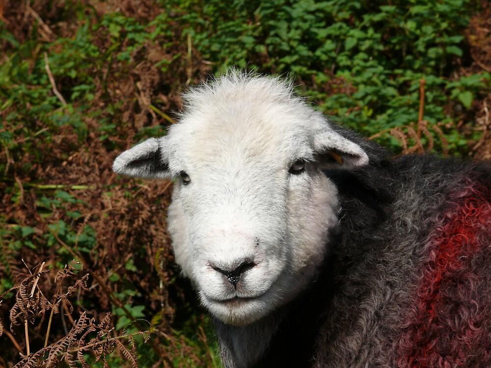 Herdwick Sheep by miltong